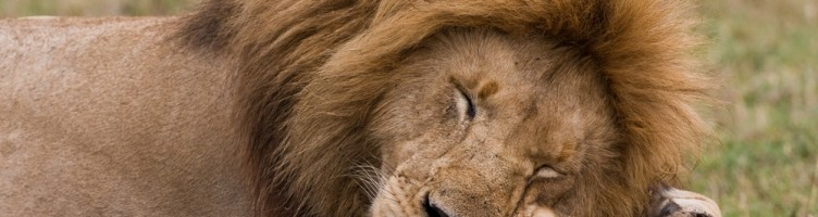 Sleeping Lion http://www.kidsdiscover.com/spotlight/african-safari-for-kids/