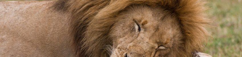 Sleeping Lion http://www.kidsdiscover.com/spotlight/african-safari-for-kids/