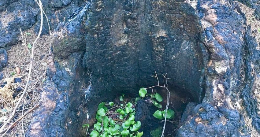 plant growing inside a burned-out stump