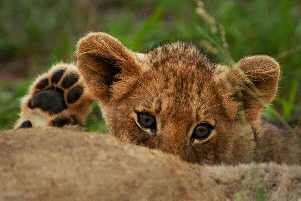lion cup peeking over rock with raised paw