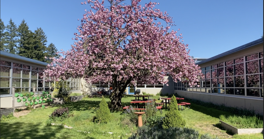 A cherry tree blooms in the school courtyard