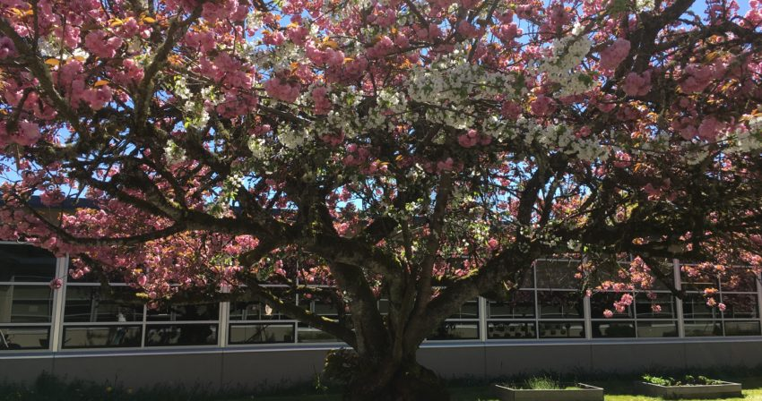 A cherry tree stands in full bloom (pink) in the sunlight. Patches of bright blue sky show through and one branch of the cherry tree has white apple blossoms.