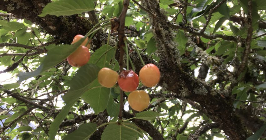 yellow and pink cherries hanging from a branch